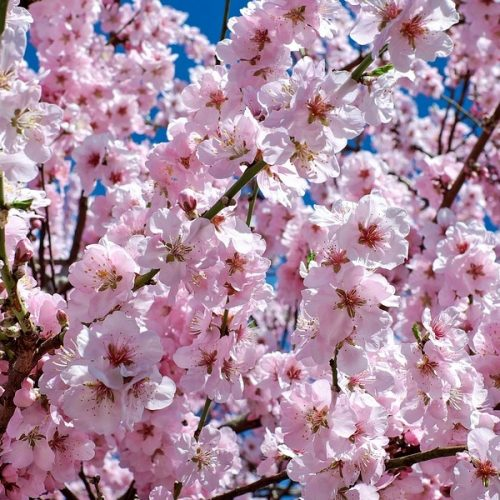 Cherry Blossom Fragrance Oil