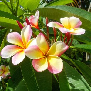 Hawaiian Sandalwood Fragrance Oil