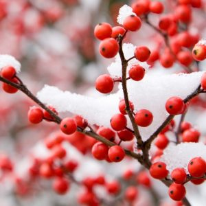 Holiday Berry Type Fragrance Oil 512