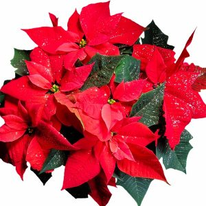 Holly Jolly Fragrance Oil