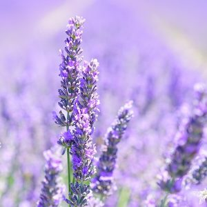 Lavender 30/32 EO- Certified 100% Pure