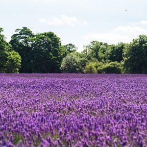 Lavender Fields Fragrance Oil