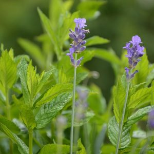 Lavender Mint Fragrance Oil