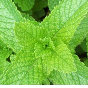 Peppermint (Redist) EO - Certified 100% Pure