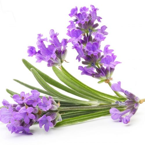 Lavender-3032
