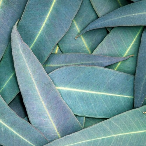 Eucalyptus-8082